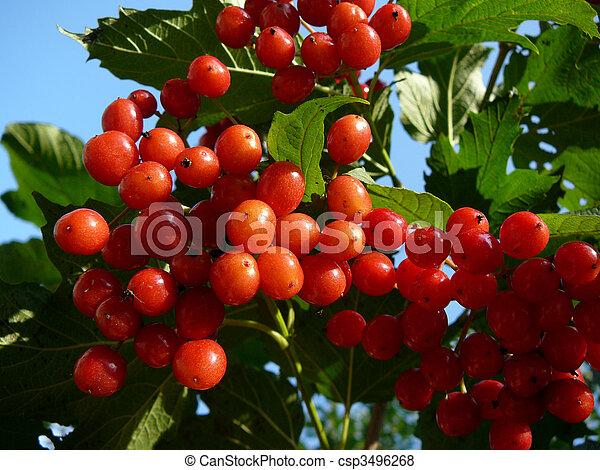 Images de berryes boule de neige 2 arbre rouge clair - Arbre boule de neige ...