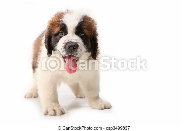 Panting Saint Bernard Puppy on White - csp3499837