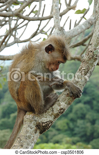 Bonnet Macaque (Macaca radiata) in tropical forests of South-eastern Asia - csp3501806