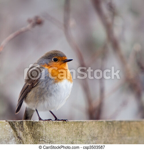 A red robin bird sitting on a fence
