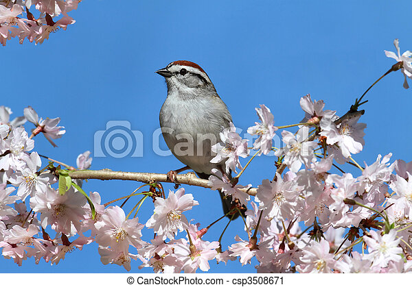 Chipping Sparrow With Cherry Blossoms - csp3508671