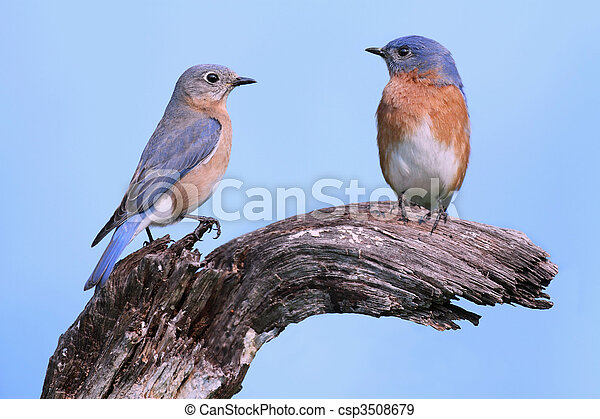 Pair of Eastern Bluebirds - csp3508679