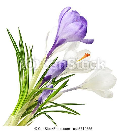 primavera, flores, Açafrão - csp3510855