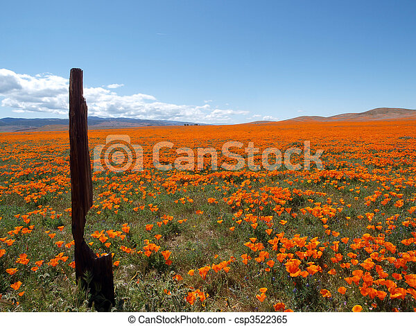 California Poppy Land - csp3522365
