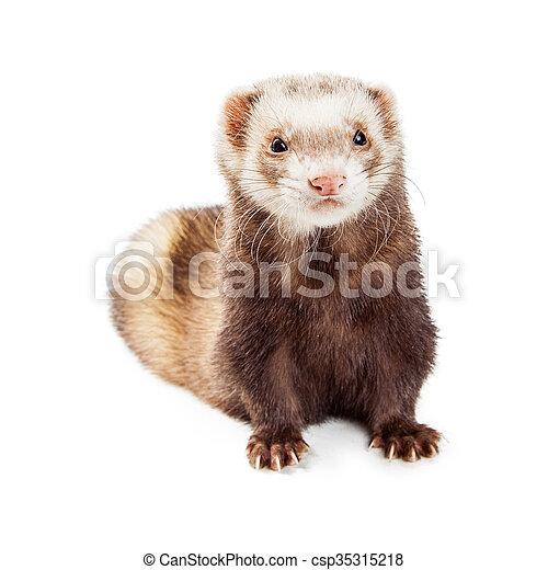 Cute Brown Pet Ferret Over White - csp35315218