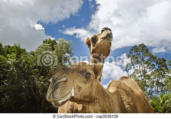 two camels looking - csp3536109