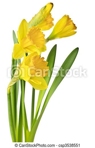 primavera, narcisos silvestres, amarela - csp3538551