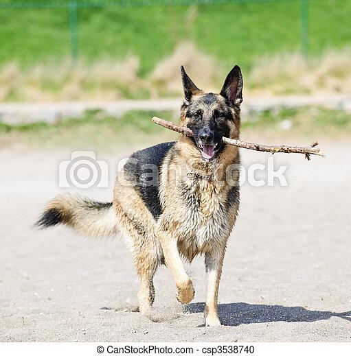 German Shepherd dog on beach - csp3538740