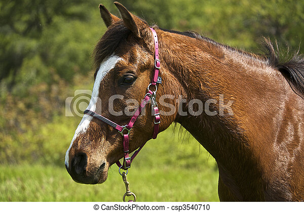 Profile of a young brown Arabian Horse with a pink bridle. - csp3540710