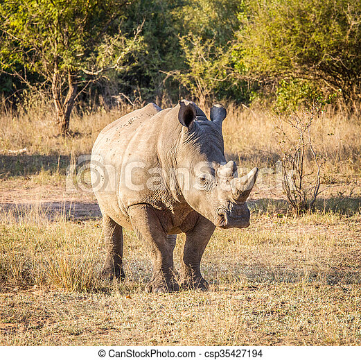 White rhino in the golden light in the Kruger National Park, South Africa.
