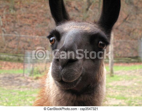 Confused Llama - csp3547321