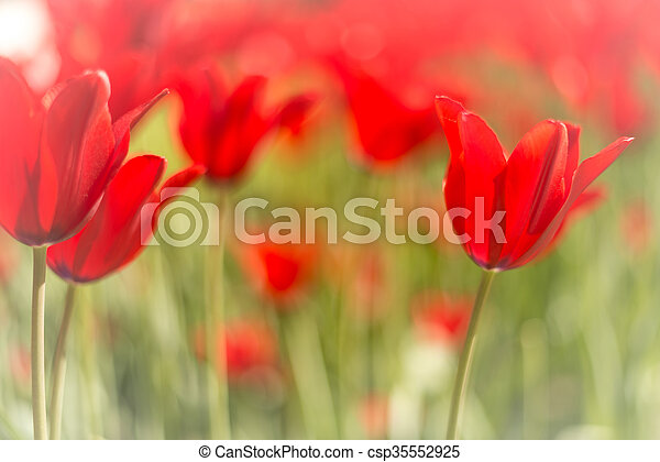 Beautiful red tulips in field in spring. - csp35552925
