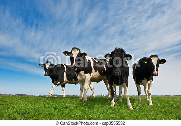 Cows on on farmland in the Netherlands - csp3555532