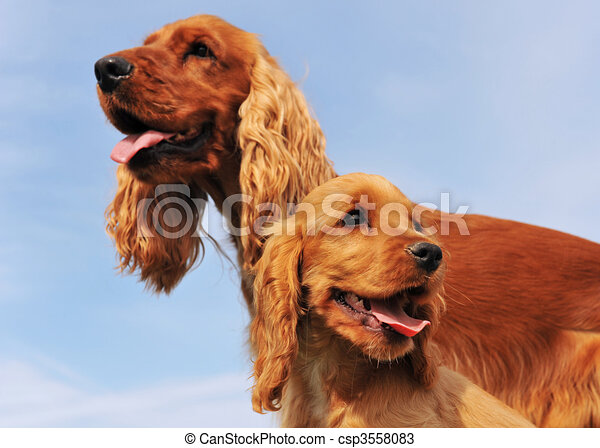 puppy and adult cocker - csp3558083