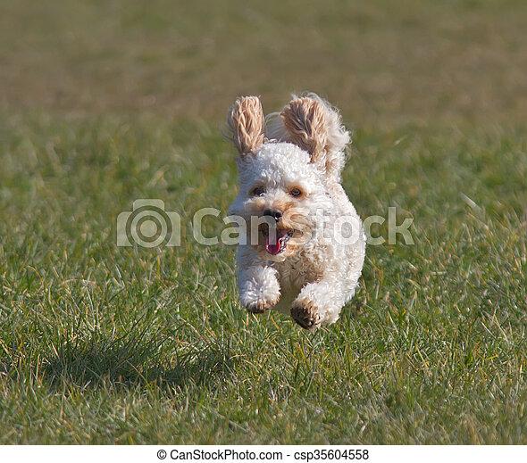 Cavapoo puppy - csp35604558