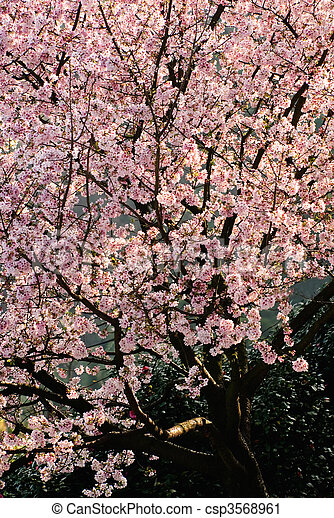 Archivi fotografici di sakura albero fiori rosa nero for Sakura albero