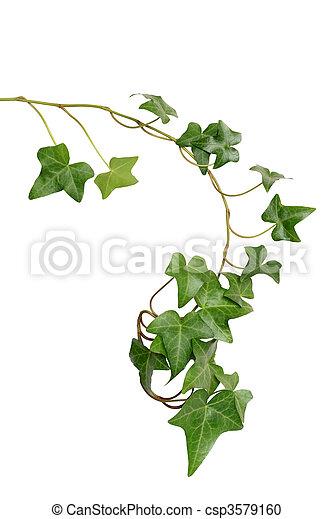 Green Ivy - csp3579160