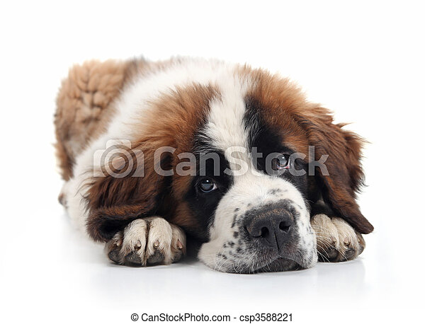 Adorable Saint Bernard Puppy Lying Down - csp3588221