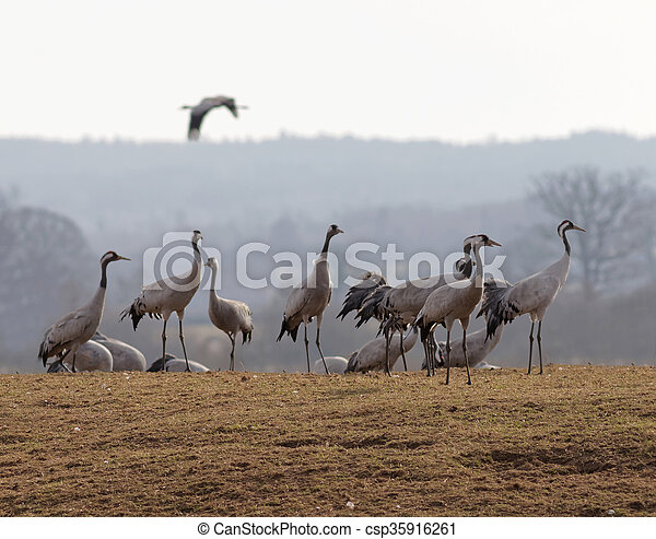 Group of crane birds in the early morning light, standing on the grass, resting a few days before moving on to the north of Sweden. On crane is flying in the background
