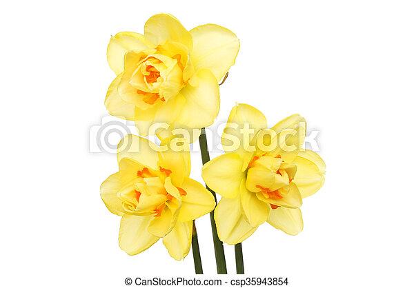 Three Daffodil flowers - csp35943854