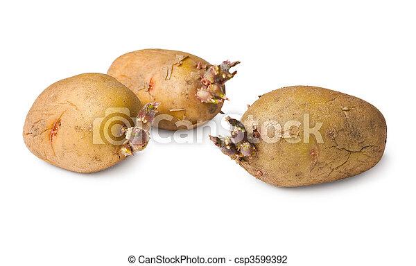 papa, semillas,  -, tres, Tubérculos, en, blanco - csp3599392