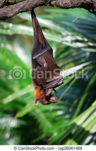 Exotic black and brown flying fox hanging upside down in a rainforest