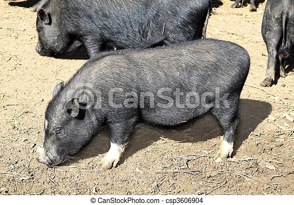 vietnam black little pig eating on clay floor - csp3606904