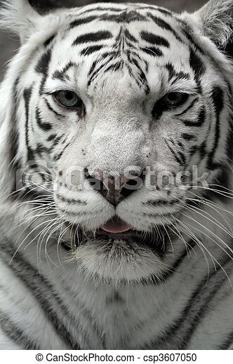 Stock Photography of White tigress, close-up portrait csp3607050 ...