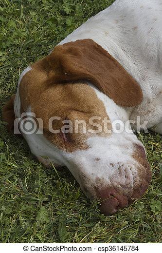 cute beagle dog sleeping - csp36145784