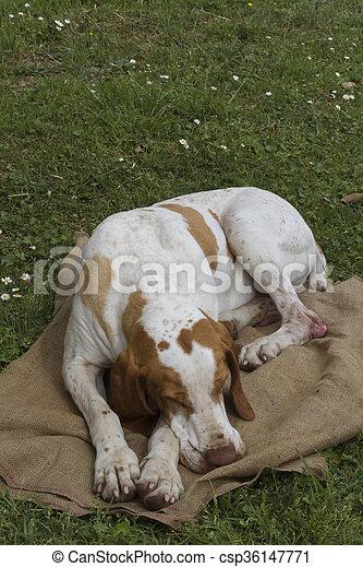cute beagle dog sleeping - csp36147771