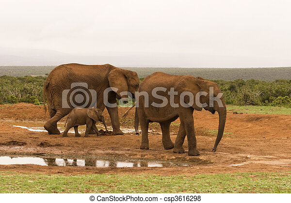 Elephants gathering at a water hole in Addo Elephant National Park, South Africa - csp3616298