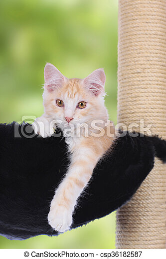 Maine Coon Kitten sitting on scratching post looking at camera