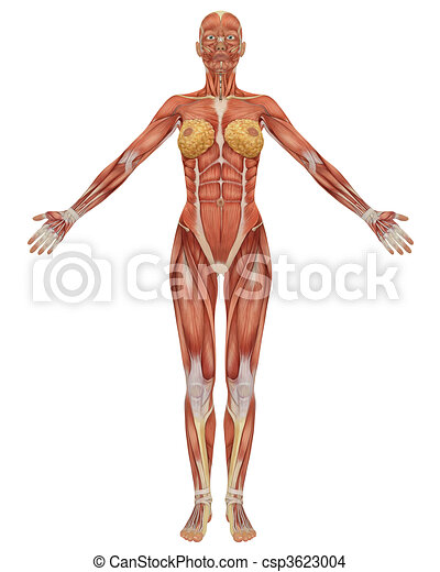 Front view of the female muscular anatomy. - csp3623004