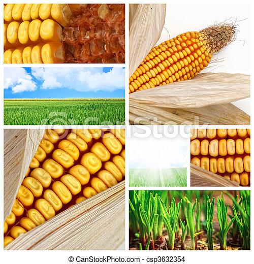 maíz, Agricultura, Plano de fondo - csp3632354