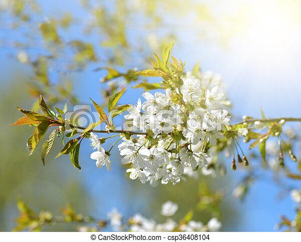 Spring blossoms cherry tree closeup. Soft focus. Nature background.