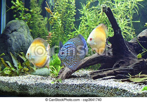 Blue and Orange Discus Aquarium Fish - csp3641740