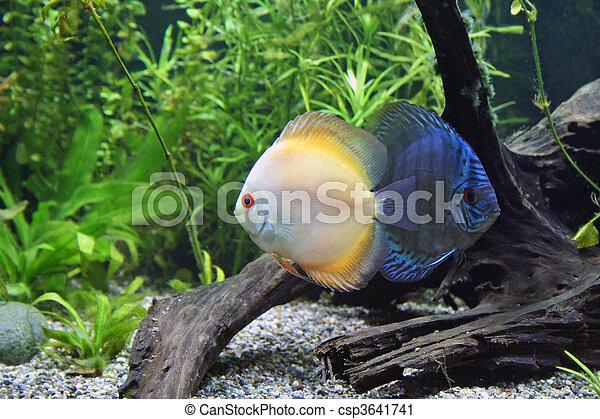 Blue and Orange Discus Aquarium Fish - csp3641741
