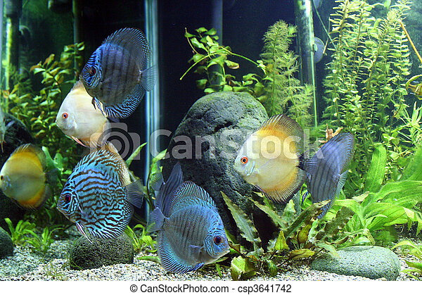 Blue and Orange Discus Aquarium Fish - csp3641742