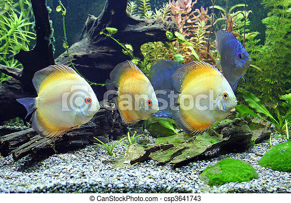 Blue and Orange Discus Aquarium Fish - csp3641743