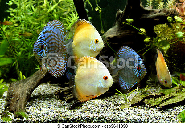 Blue and Orange Discus Aquarium Fish - csp3641830