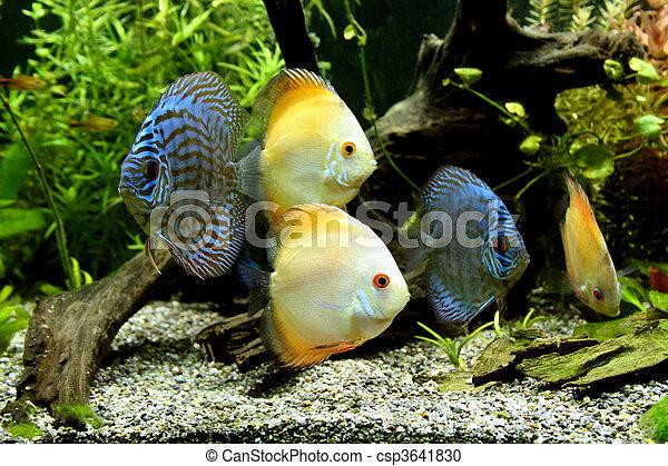 Blue and Orange Discus Aquarium Fish - csp3641830