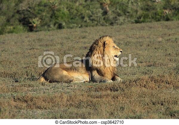 Lion sitting profile - photo#13