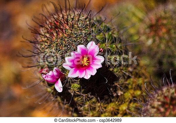 banque de photographies de pelote aiguilles, cactus, fleur - pink