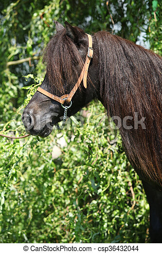 Portrait of nice brown pony with long mane