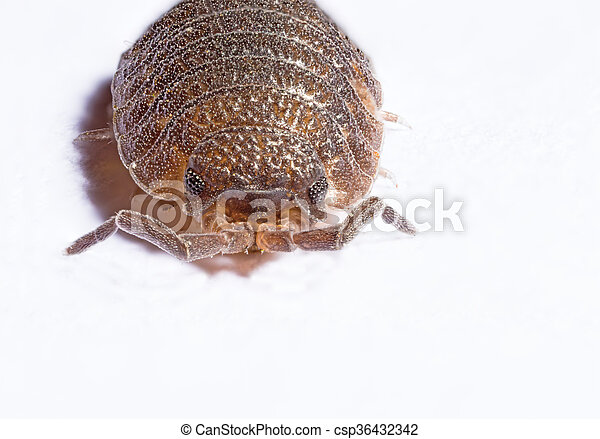 Extreme close up of a woodlouse - csp36432342