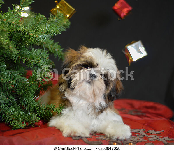 shih tzu puppy under christmas tree - csp3647058