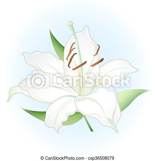 White lily - csp36508079