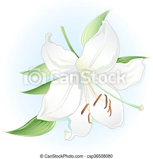 White lily - csp36508080