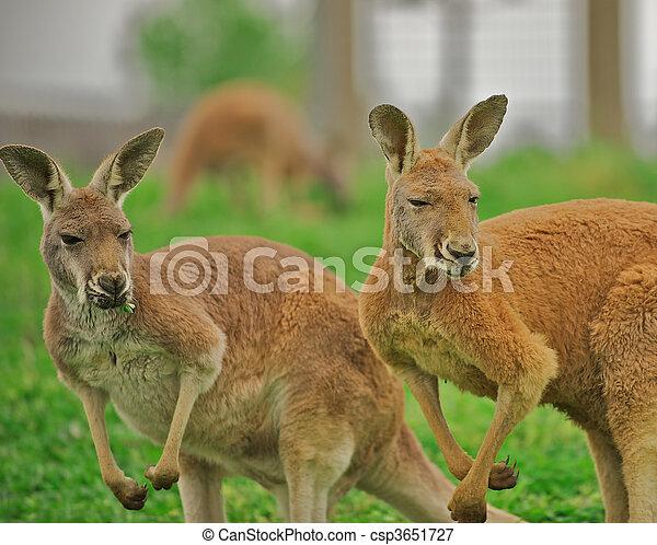 Two alert kangaroos. - csp3651727