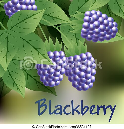 black, ripe, sweet blackberry hanging on a branch with green leaves. Vector - csp36531127